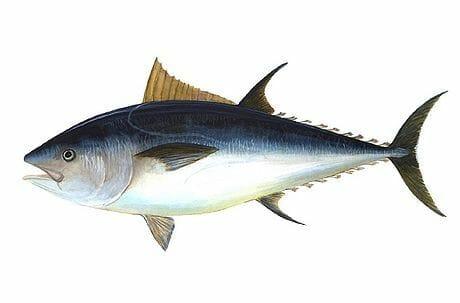 tonno olbia varpesca